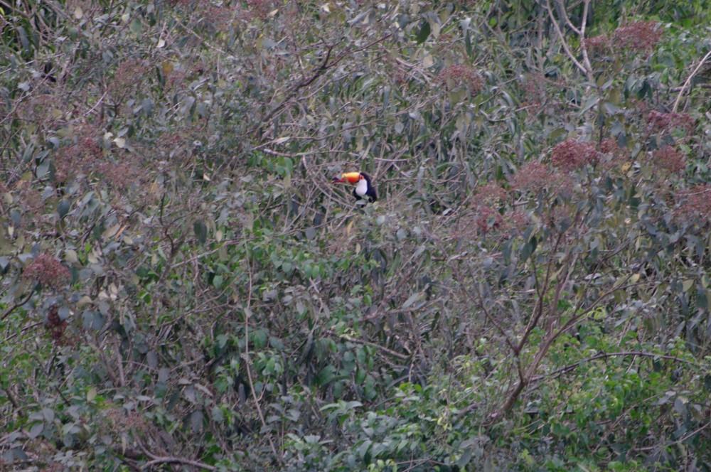 Toucan at Iguazu Falls